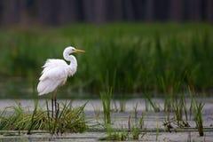 Grande Egret no selvagem Foto de Stock