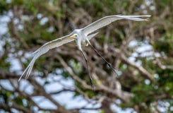 Grande Egret no vôo Front View imagem de stock