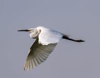 Grande Egret no vôo Imagens de Stock