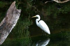 Grande Egret oriental 1 Fotos de Stock