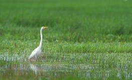 Grande Egret orientale Fotografie Stock Libere da Diritti