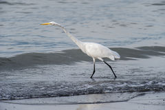 Grande Egret pelo lago Chapala Fotografia de Stock Royalty Free