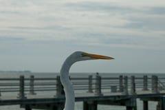 Grande Egret perto de St Pete Imagens de Stock Royalty Free