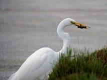 Grande Egret que come o lagarto Foto de Stock Royalty Free