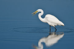 Grande Egret que come peixes Fotografia de Stock Royalty Free