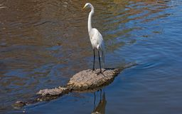 Grande Egret que engata um passeio em um jacaré fotos de stock