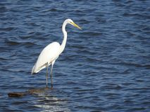 Grande Egret que está no log submerso imagem de stock