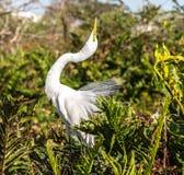 Grande Egret que Posturing na plumagem da criação de animais Imagem de Stock Royalty Free