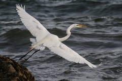 Grande Egret que retorna em casa após uma caça a conexão. Som. Imagem de Stock Royalty Free
