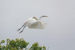 Grande Egret que toma o voo de um viveiro de Texs Imagens de Stock Royalty Free
