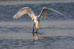 Grande egret que trava um peixe no louro de Jamaica fotografia de stock