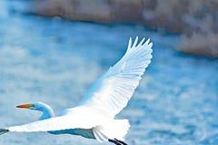 Grande Egret que voa baixo Fotos de Stock Royalty Free