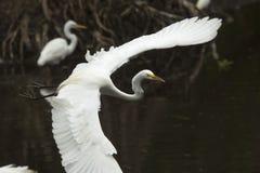 Grande egret que voa sobre um pântano nos marismas de Florida Foto de Stock