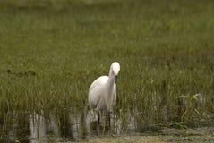 Grande egret, Srinagar, Kashmir, India Fotografia Stock Libera da Diritti