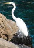 Grande Egret sulla roccia Immagine Stock Libera da Diritti