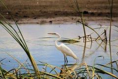 Grande Egret vadear relaxado imagens de stock royalty free