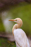 Grande egretta Fotografia Stock