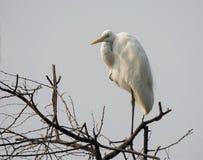 Grande egretta (albus del Casmerodius) Fotografia Stock