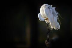Grande egretta alla luce di sera Fotografia Stock