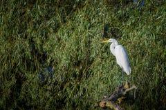 Grande egretta (ardea alba) Fotografia Stock Libera da Diritti