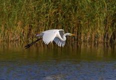 Grande egretta, ardea alba, volante, lago neuchatel, Svizzera immagine stock