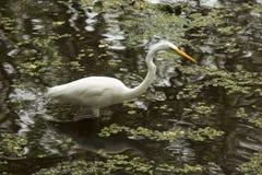 Grande egretta che guada in acqua bassa dei terreni paludosi di Florida Immagini Stock Libere da Diritti