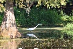 Grande egretta che si alimenta nelle zone umide di una Florida Fotografia Stock Libera da Diritti