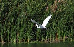 Grande egretta che sorvola lago davanti alle canne Immagini Stock