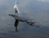 Grande egretta che sta sull'alligatore Fotografie Stock