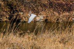 Grande egretta che vola in basso sopra il piccolo fiume con l'erba marrone di inverno Immagini Stock Libere da Diritti