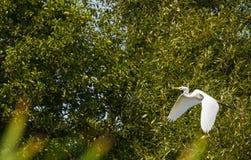 Grande egretta che vola giù le ali sui precedenti degli alberi immagine stock libera da diritti