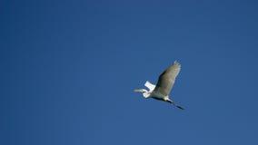 Grande egretta con la diffusione delle ali Fotografia Stock