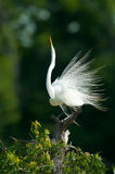 Grande egretta Dispalying fotografie stock