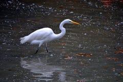 Grande egretta in lago Immagine Stock Libera da Diritti