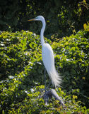 Grande egretta in Luisiana fotografia stock libera da diritti