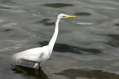 Grande egretta nel lago Immagine Stock