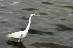 Grande egretta nel lago Fotografia Stock Libera da Diritti