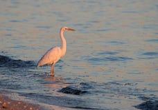 Grande egretta nel tramonto Fotografia Stock