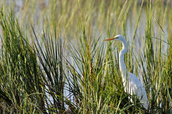 Grande egretta, o egretta comune, cercante in canne al Huntington Beach, Carolina del Sud Fotografia Stock