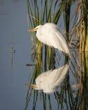 Grande egretta riflessa in una zona umida di Florida Immagine Stock Libera da Diritti