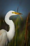 Grande egretta, ritratto bianco dell'egretta Immagine Stock