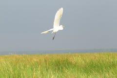Grande egretta sul lago Fotografia Stock Libera da Diritti