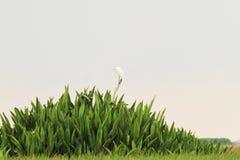 Grande egretta sul lago Fotografia Stock