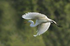 Grande egretta in volo alla colonia di allevamento Fotografia Stock Libera da Diritti