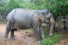 Grande elefante Immagine Stock