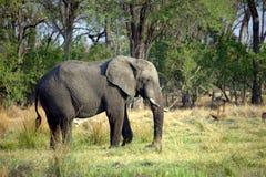 Grande elefante africano Fotos de Stock