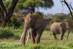 Grande elefante africano con le zanne lunghe Il Kenia, Africa immagini stock libere da diritti