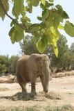 Grande elefante africano fotografia de stock