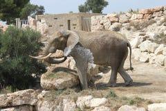Grande elefante africano nella riserva fotografie stock libere da diritti