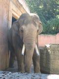 Grande elefante allo zoo Fotografia Stock